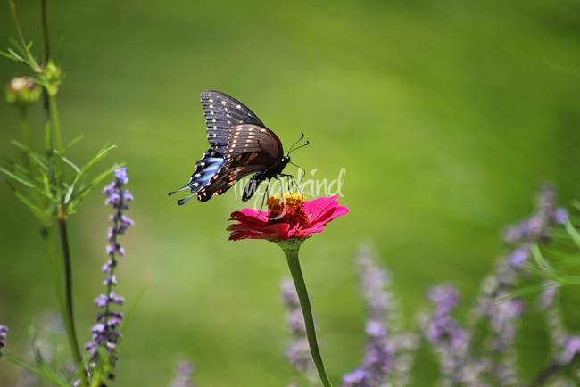 Sneaking Up on a Black Swallowtail Butterfly