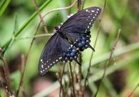 Black Swallowtail Butterfly Dorsal View