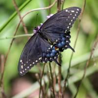 Black Swallowtail Butterfly Dorsal View by Karen Adams