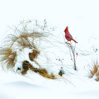 Cardinal Angel in the Snow Art Prints & Posters by I.M. Spadecaller