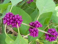 Purple Beautyberry fruit