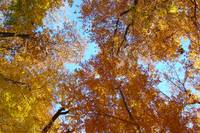 autumn canopy