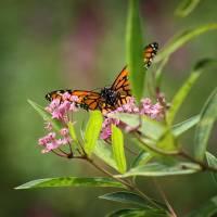 Monarch on Milkweed Square by Karen Adams