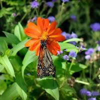 Making Monarchs  by Karen Adams
