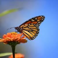 Monarch and Blue Sky  by Karen Adams