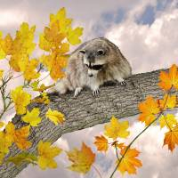 Raccoon in Maple Tree by I.M. Spadecaller