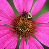 Bee U T on a Coneflower  by Karen Adams