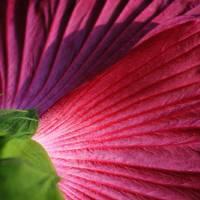 Flower Folds in Shadows by Karen Adams