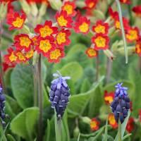 Primrose and Hyacinths by Karen Adams