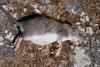 Dead rat on Paxos
