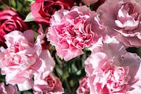 Pink Carnations in the Sun