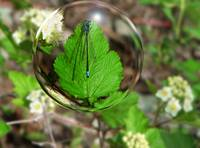 Blue Damsel Fly in a Bubble