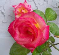 Changeable Dick Clark roses