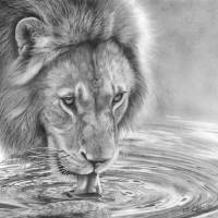 Lapping It Up - African Wildlife - Lion Art Prints & Posters by Peter Williams