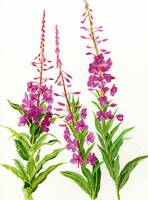 Fireweed (white background)