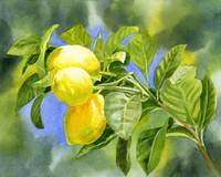 Three Lemons with Background