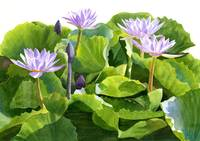 Four Lavender Water Lilies  (white background)
