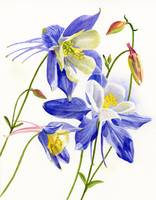 Three Blue Columbine Blossoms