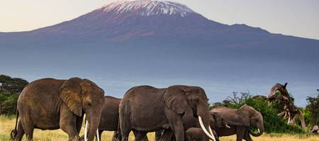 Elephants of mt Kilimanjaro