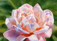 One Pink and Peach Colored Rose Blossom