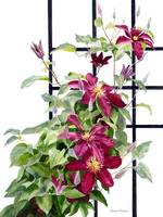 Red Violet Clematis on a Trellis