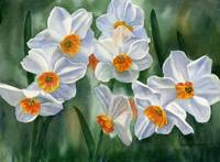 white and orange daffodils 14.5x10.5