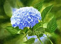 Blue Hydrangea Blossom with Background