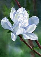 white star magnolia blossom dark background
