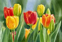 Orange and Yellow Tulips with Background