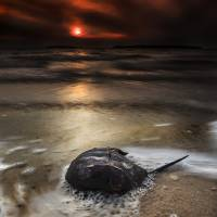 Horseshoe Crab and Sunset Art Prints & Posters by Dapixara Art