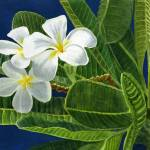 """White Plumeria Blossoms with Blue Background"" by Pacific-NW-Watercolors"