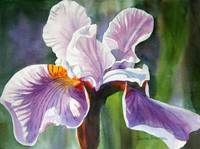 Lavender Iris Flower Colorful Background