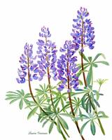 Arctic Lupine, illustration