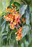Orange Trumpet Flame Vine with Background