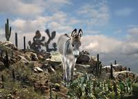 Young Burro of the Sonoran Desert
