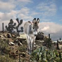 Young Burro of the Sonoran Desert by I.M. Spadecaller