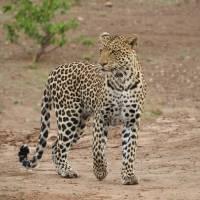 Prancing Leopard Art Prints & Posters by Ruby Rubin