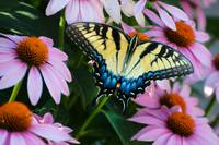 Tiger Swallowtail and Coneflowers 0966