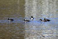 Dean Park Hooded Mergansers