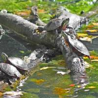 Turtles climbing and resting on tree branch Art Prints & Posters by Sam Lee