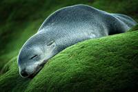 Snoozing Seal