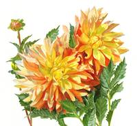 Gold and Orange Dahlias with white background