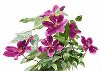 Red Violet Clematis with white background