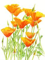 California Poppies with White Background