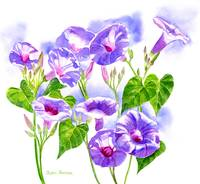 Lavender Morning Glory Flowers