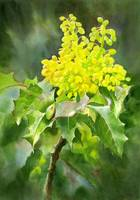 oregon grape painting copy edit +brit+cont