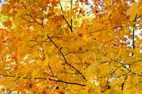 Maple Tree Autumn Color Bliss