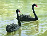 Two Black Swans (trimmed version)