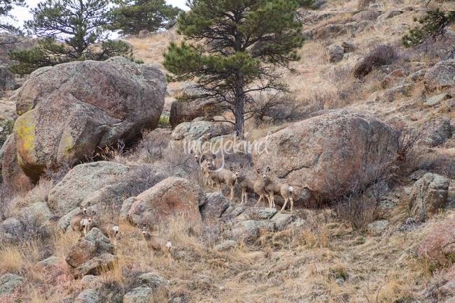 Cute Mule Deer Herd on the Foothills