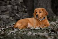 Resting Golden Retriever by Daniel Teetor